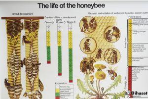 Biernes Liv Plakat