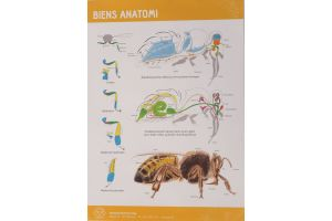 Plakat - Bierne og deres udvikling