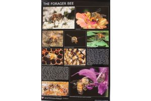 Plakat af Luca Mazzocchi - The Forager Bee